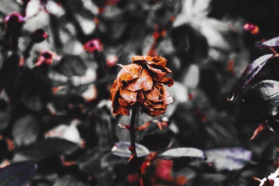 Dead rose Rose🌹 Roses Rosé DeadRoses Canonphotography Rebel Canonrebelt5i Photography Nature