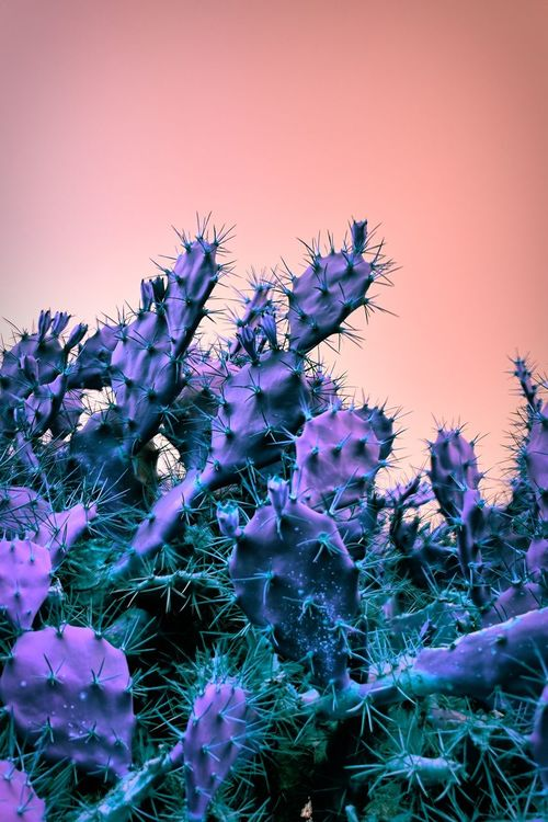 EyeEmNewHere Night in the desert Flower Cacuts Nature Beauty In Nature Purple Freshness Plant No People Petal Fragility Outdoors Clear Sky Flower Head Close-up Blooming Day