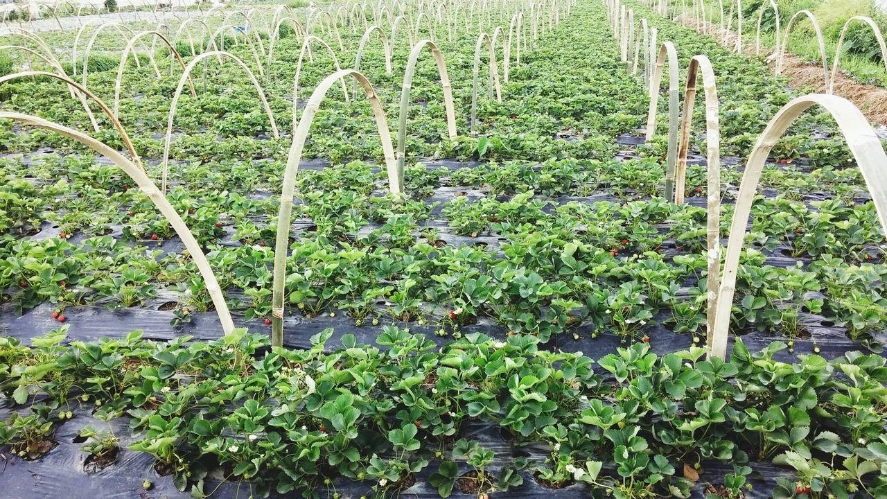 Strawberey all around., hindi ko nahanap ang kambal na strawberry.. 😥 Strawberry Farm