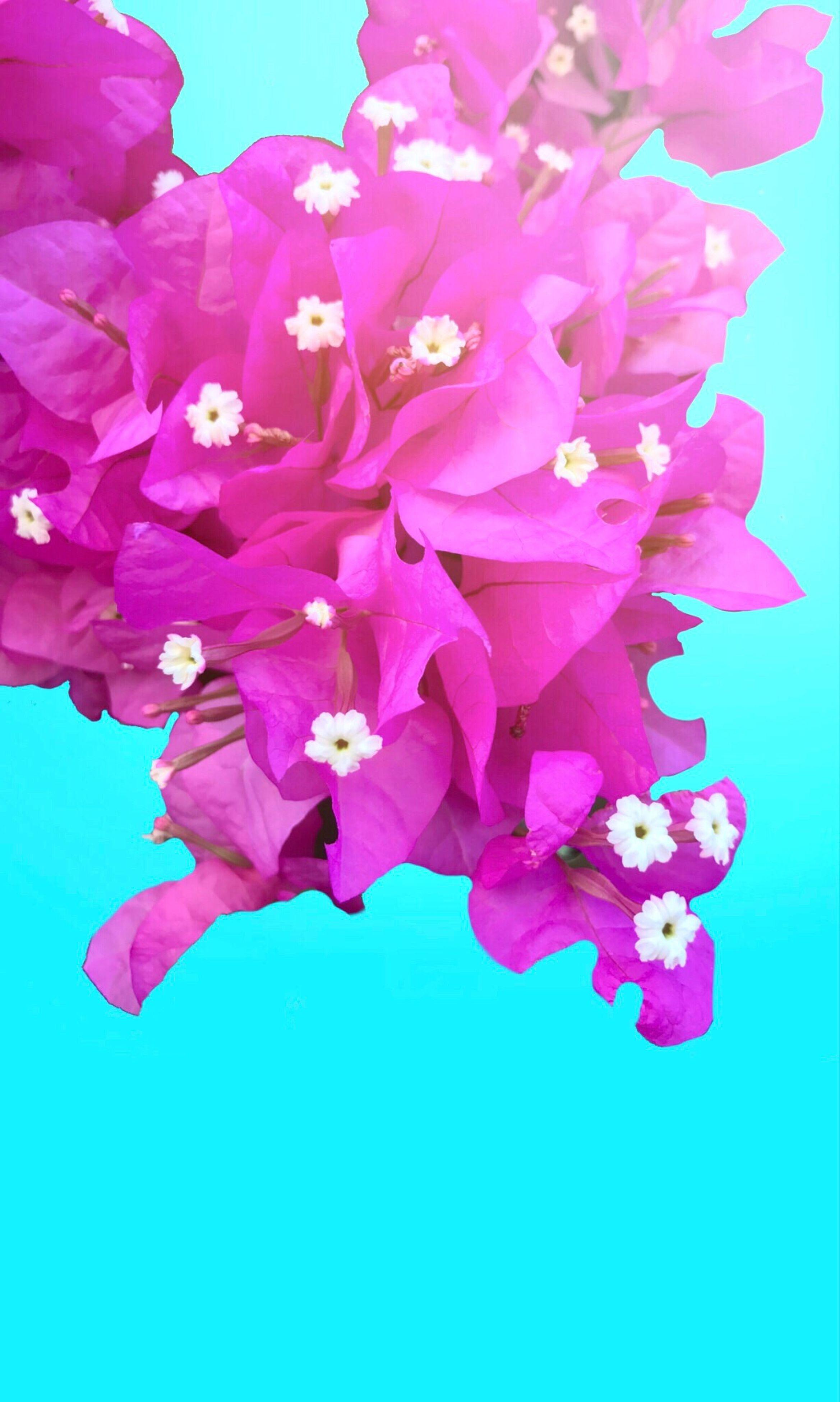 flower, pink color, petal, fragility, no people, beauty in nature, growth, nature, studio shot, freshness, close-up, flower head, bougainvillea, day, outdoors