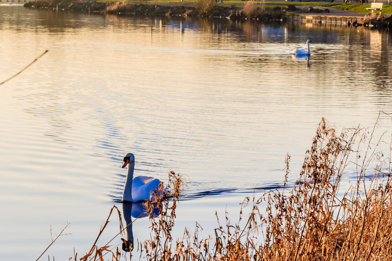 Beauty In Nature Ducks Lake Loch  Malephotographerofthemonth Nature Swans Water
