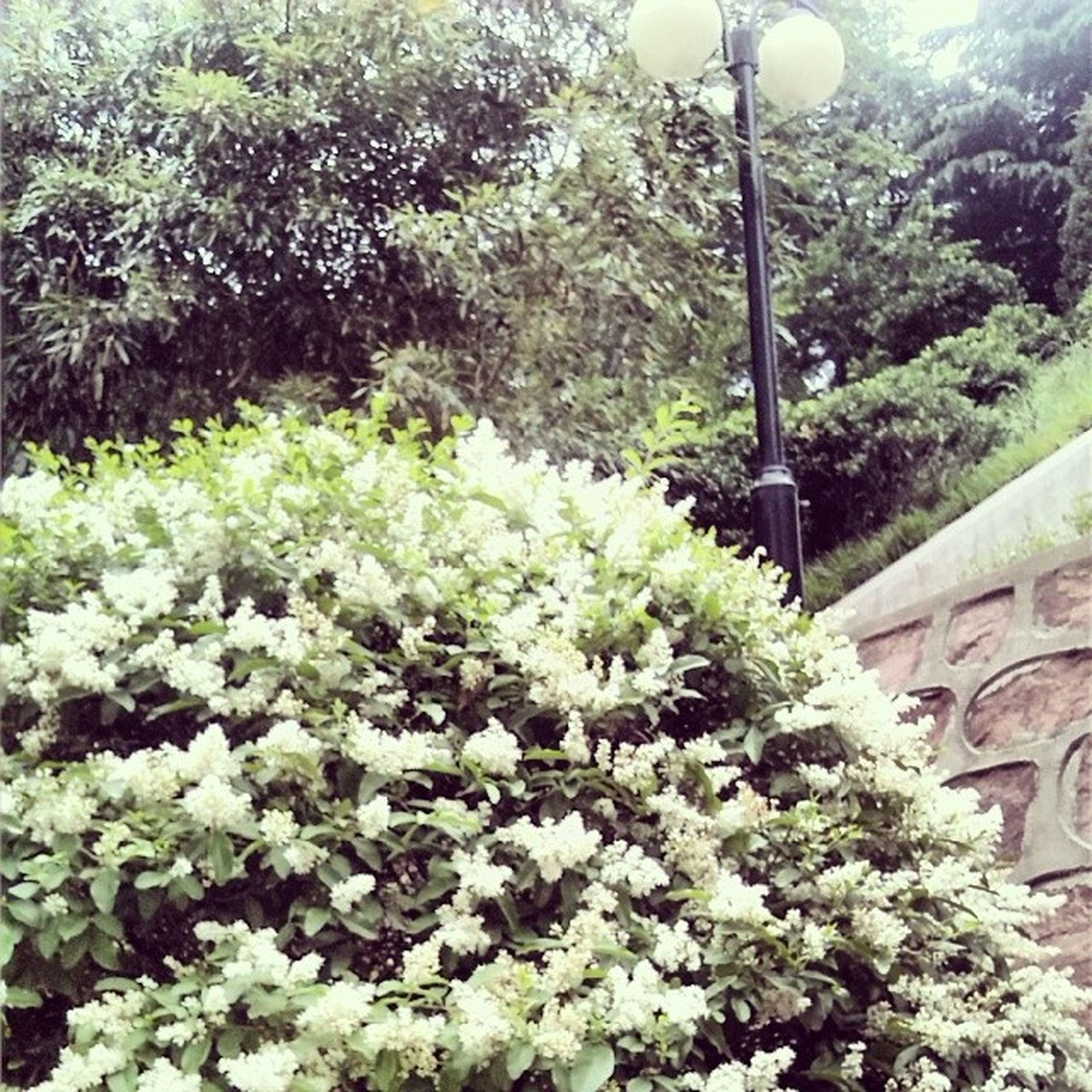 flower, growth, plant, tree, beauty in nature, nature, freshness, green color, white color, street light, fragility, growing, built structure, sunlight, potted plant, day, outdoors, blooming, in bloom, no people