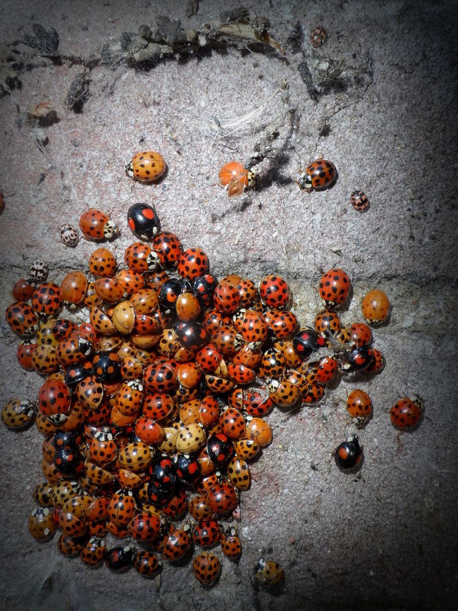 Overwintering multicolored Asian ladybirds, hiding in the caves Animal Themes Animals In The Wild Brick Wall Cluster Coccinelle Coccinellidae Eye4photography  EyeEm Best Shots EyeEm Nature Lover Freshness Group Of Animals Harmonia Axyridis Hibernation Ladybird Ladybird Beetle Ladybirds Ladybirds 🐞 Ladybird🐞 Ladybug Ladybug Collection Ladybugs Ladybugs Everywhere Ladybugs Photography Ladybug🐞 Outdoors