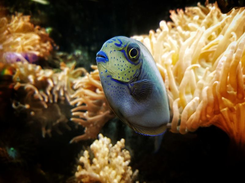 Underwater UnderSea One Animal Sea Life Sea Animals In The Wild Reef No People Close-up Scuba Diving Taking Pictures The Week On EyeEm Samsungphotography Note8 Samsung Note 8 Taking Photos Beauty In Nature UnderSea Coral Focus On Foreground Saltwaterfish Saltwatertank