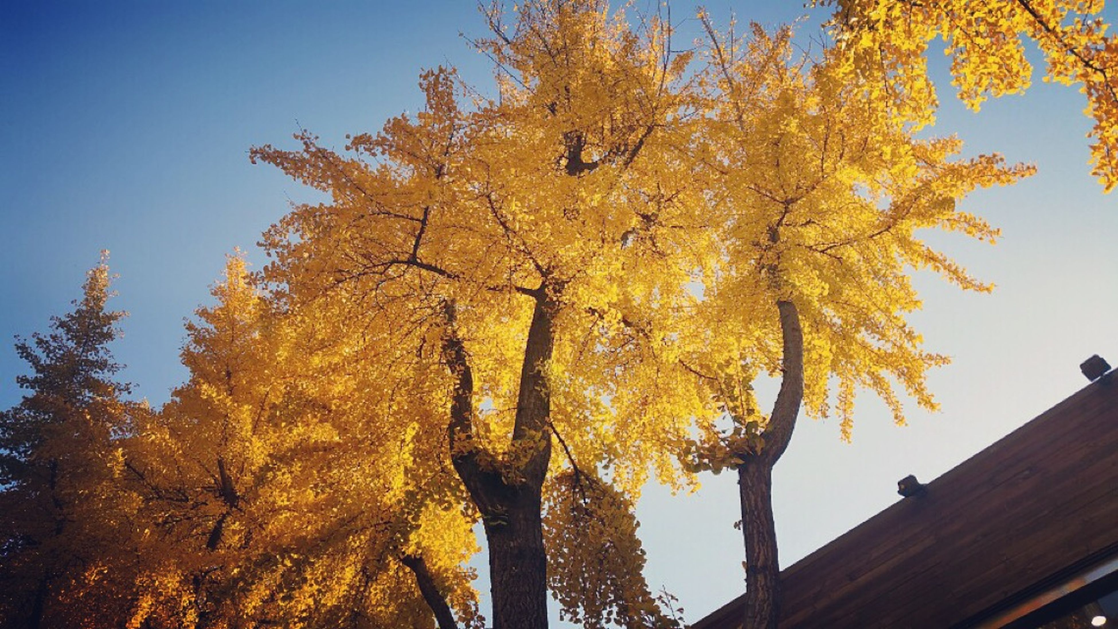 tree, branch, low angle view, autumn, clear sky, change, blue, growth, nature, yellow, beauty in nature, orange color, season, built structure, building exterior, sky, tranquility, no people, outdoors, architecture