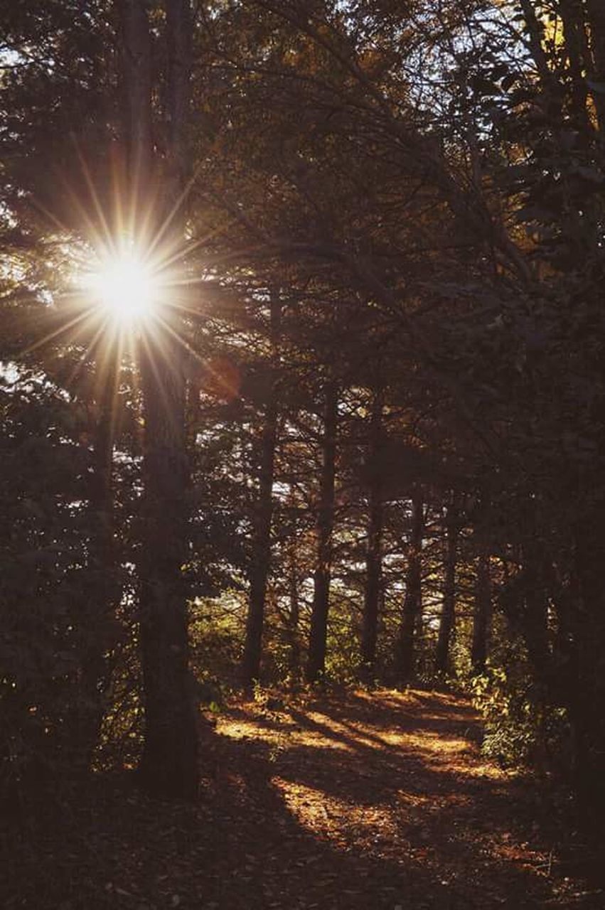 tree, nature, sunlight, sunbeam, sun, tranquility, forest, tranquil scene, beauty in nature, scenics, lens flare, no people, outdoors, autumn, growth, day, branch, sky