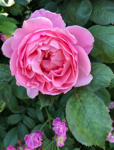 Flower Petal Beauty In Nature Flower Head Pink Color Nature Rose - Flower Close-up No People Freshness Day