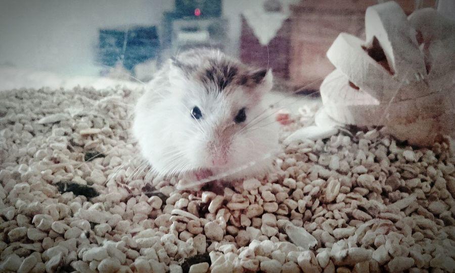 my little pet Animal Themes Pets One Animal Hamster Hamster Love Littleanimals  Animal Head  Animals Roborovski