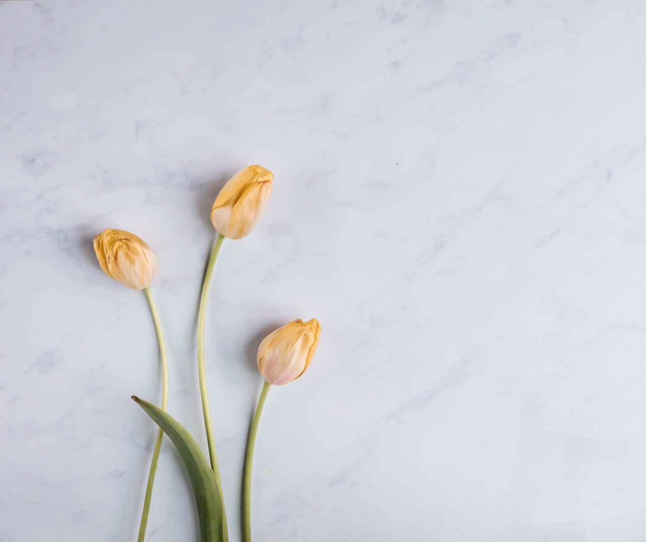 Tulip Tulips On The Table Flower Petal White Background Marble Flower Head No People Close-up Fragility Day Freshness Orange Color Blooming Nature Plant Growth Beauty In Nature Outdoors Marble Table Still Life StillLifePhotography Still Life Stilllife Nature Color