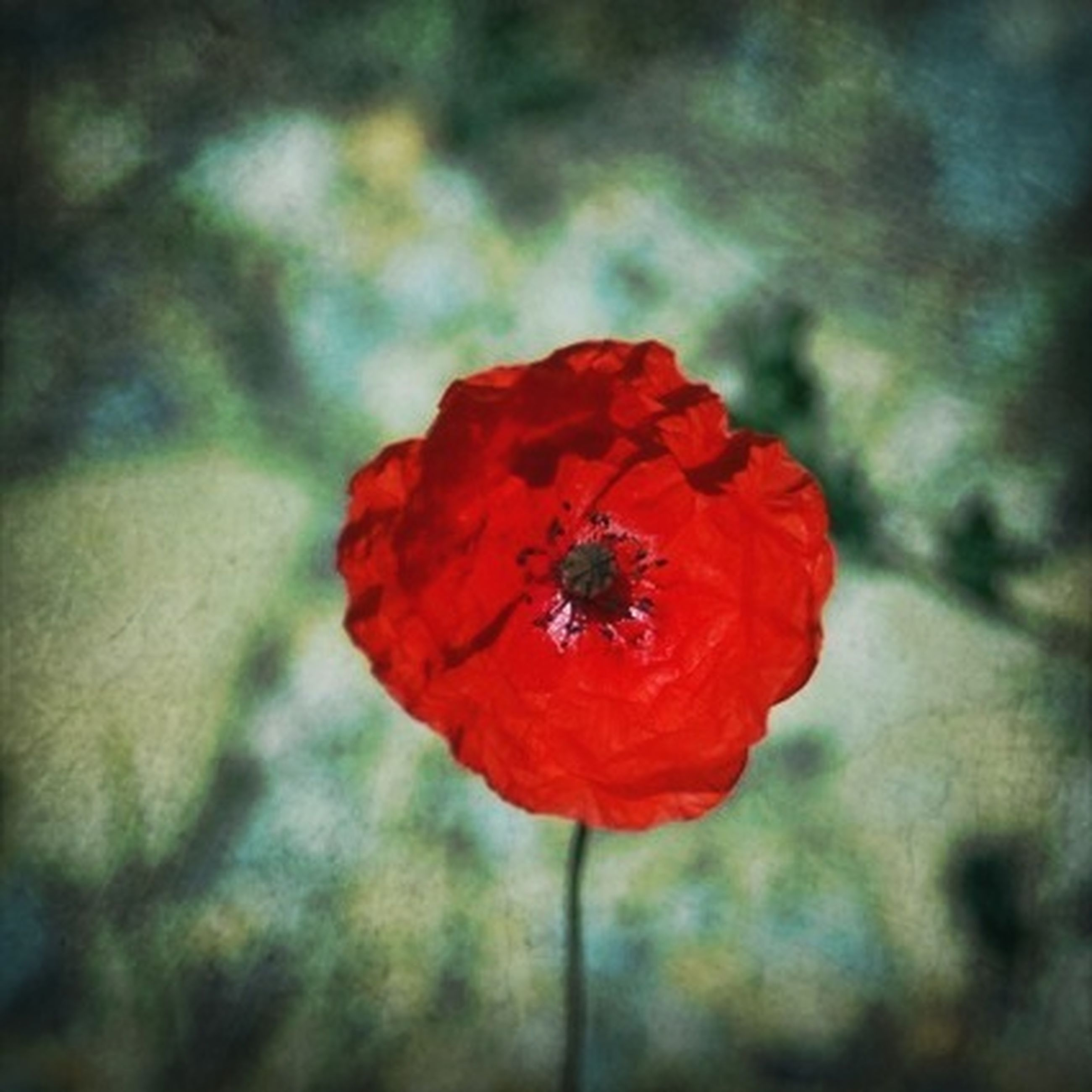 flower, petal, flower head, freshness, red, fragility, growth, beauty in nature, close-up, single flower, focus on foreground, blooming, poppy, nature, plant, in bloom, pollen, stamen, stem, selective focus