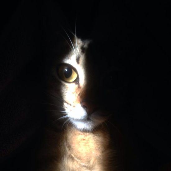 Venvs the cat. Cat Thecat Venvs Venvsvenvs Love Domestic Animals Domestic Cat Animal Body Part Black Background Looking At Camera Feline Mammal Iris - Eye Portrait