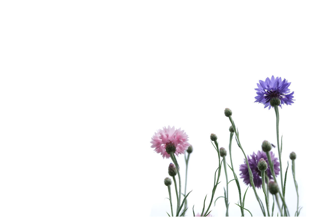 Cornflowers, white background Beauty In Nature Blooming Blossom BlueBottle Bud Clear Sky Close-up Colourful Copy Space Cornflower Day Flower Flower Head Fragility Frame Freshness Garden Growing Growth Nature No People Outdoors Petal Plant White Background
