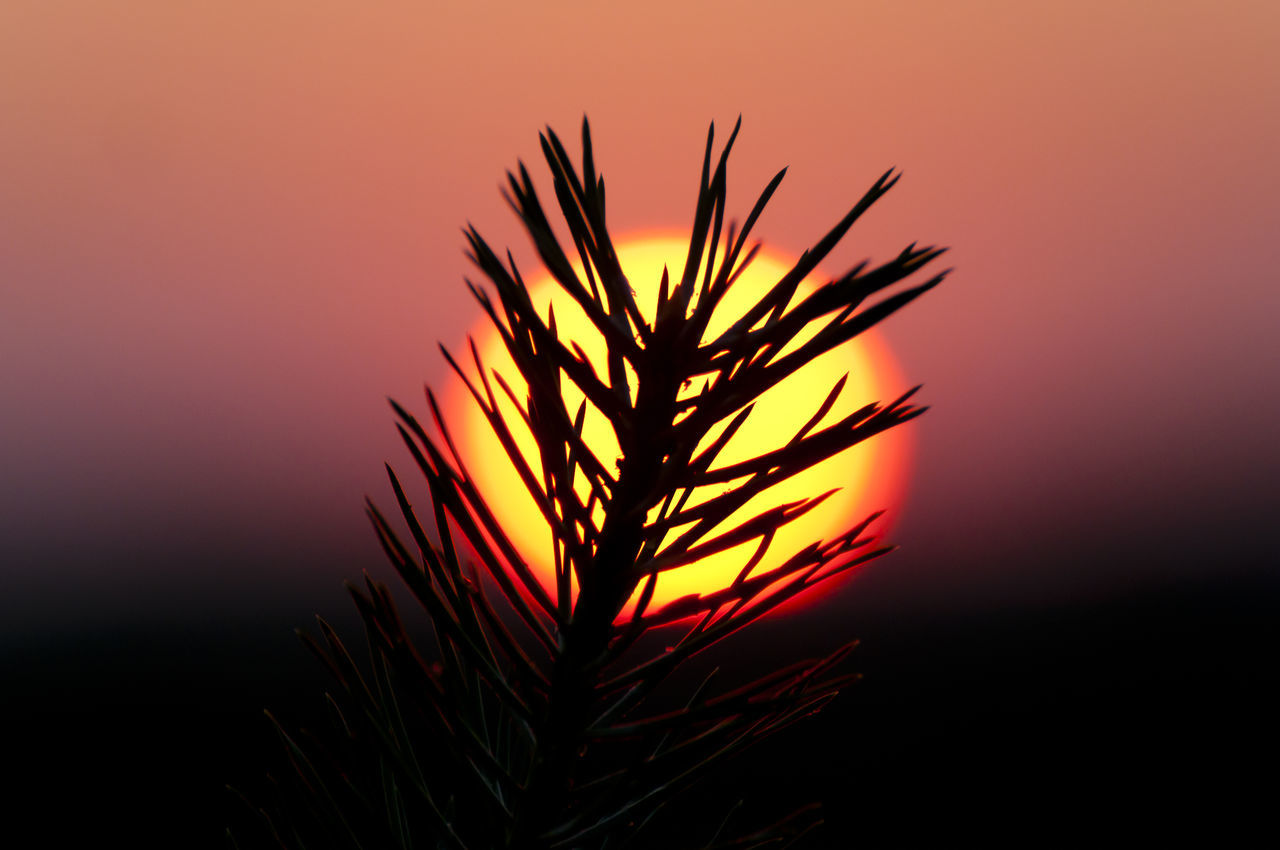 Orange Sunset Pine Nature Orange Color Outdoors Silhouette Sun Sunset