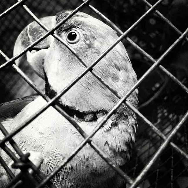 Twitter Love Parrot Alexandrine_The_Great Cute