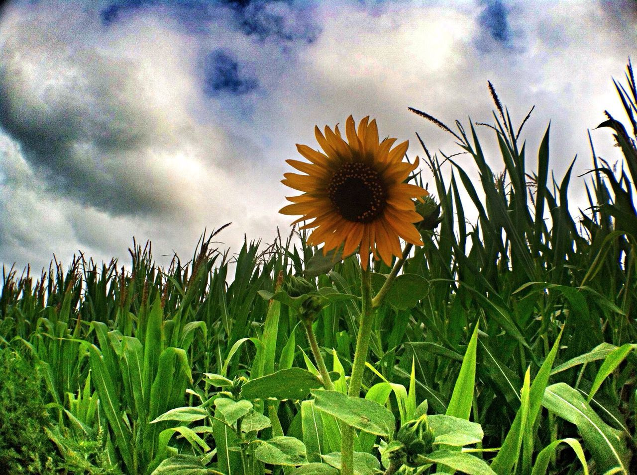 Cornfield Sunflower Landscapes Minnesota Liquid Sky Sky And Clouds Mankato Clouds And Sky Daydreamer Afternoon Blues