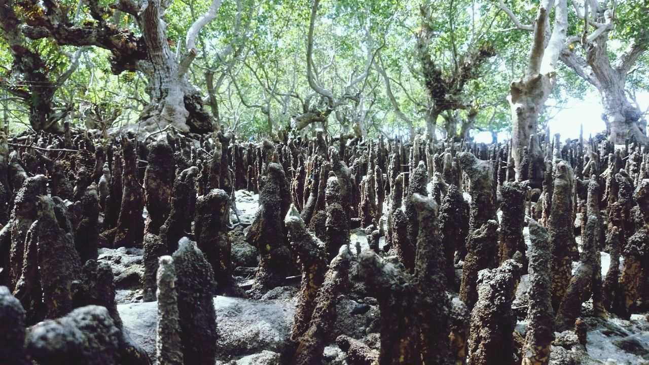 Mangroves Forest By The Sea Life