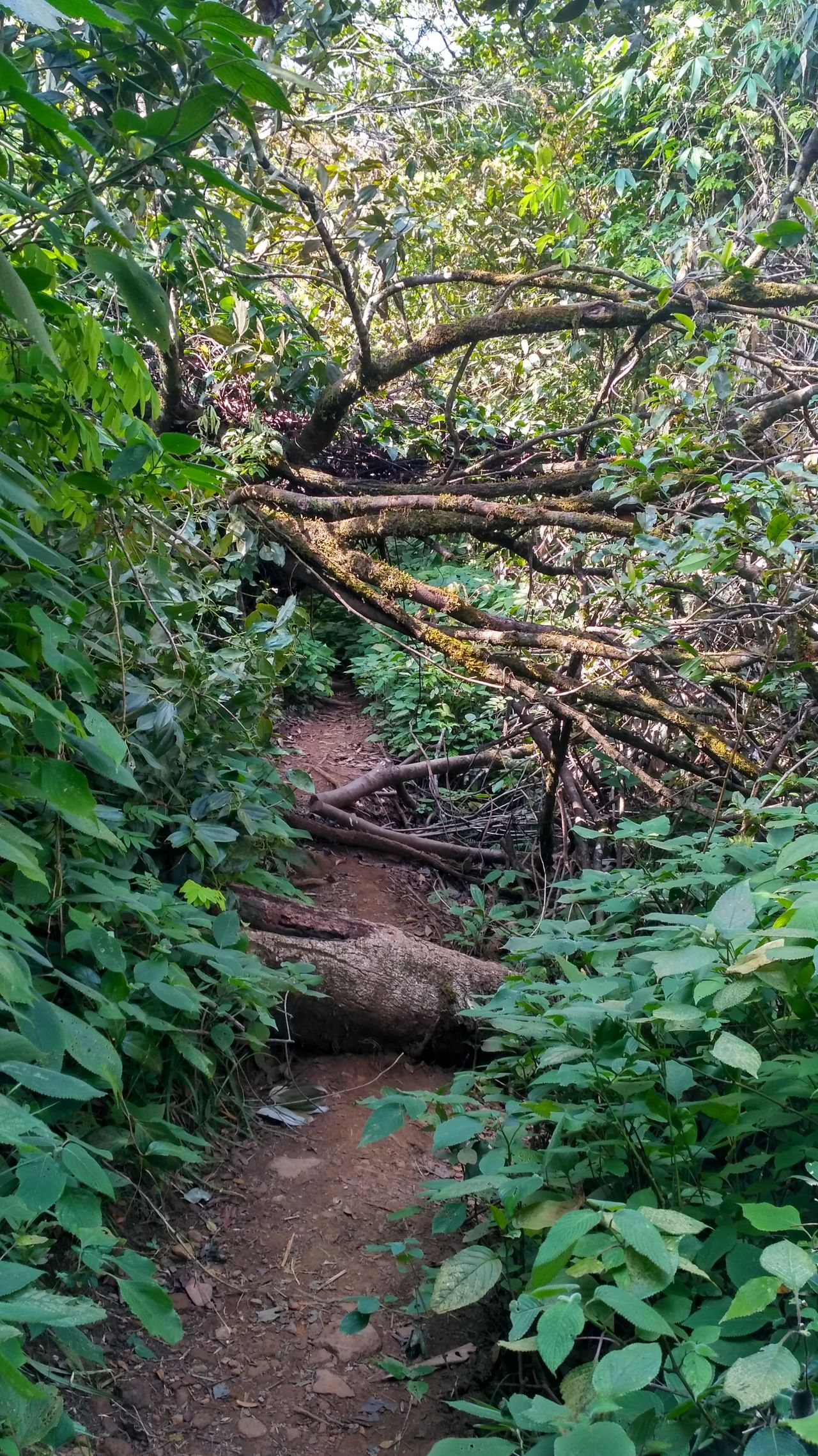 Tree Nature Growth No People Beauty In Nature Forest Greenery Fallen Tree Forest Path Trek Jungle Jungle Trekking Wild Branches