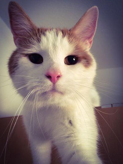 Domestic Cat Katze