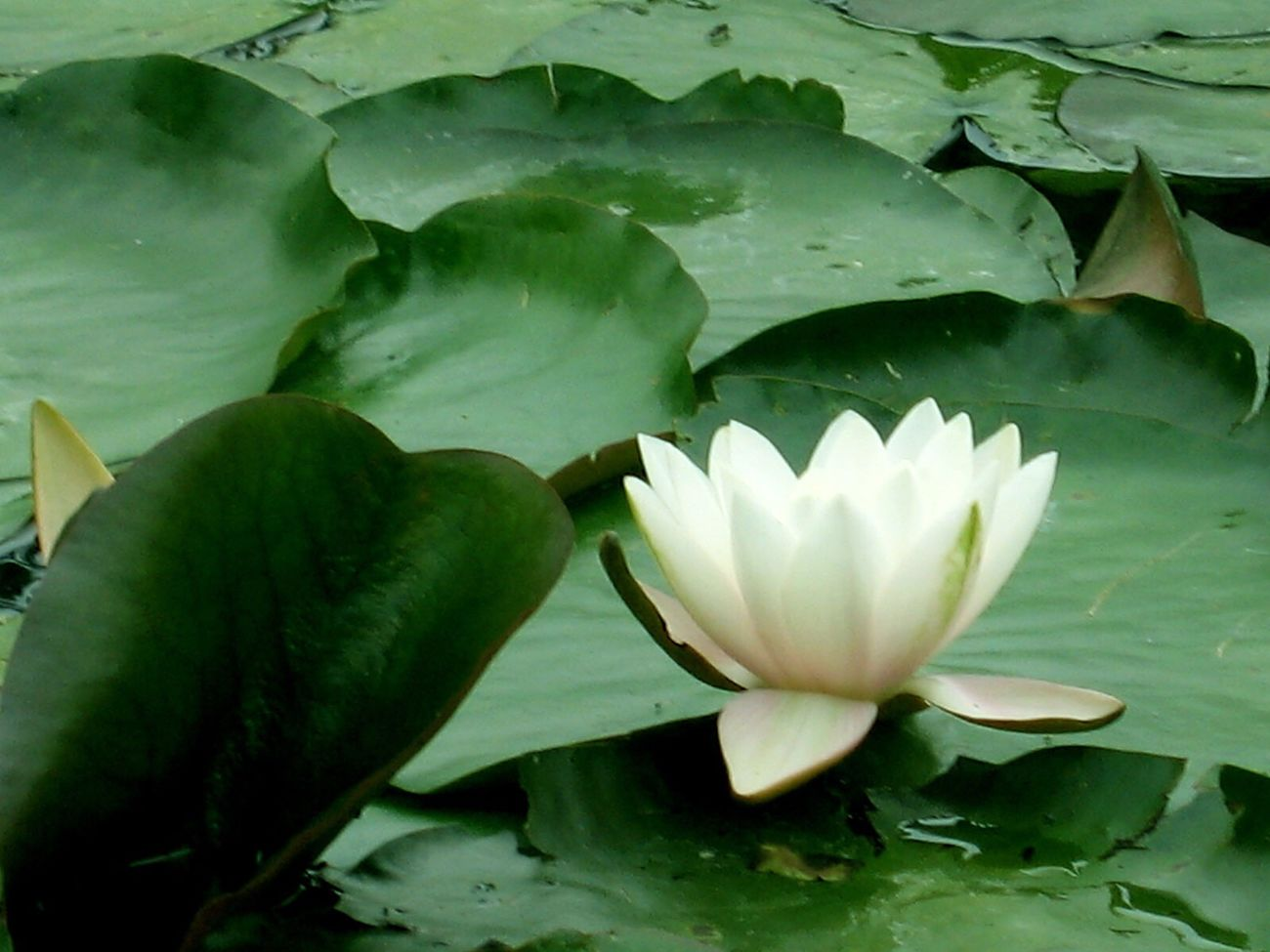 Lotus Flower Flower Lily Pad Flora Nature Green White Peaceful Japanese  Beauty In Nature Pretty Petal