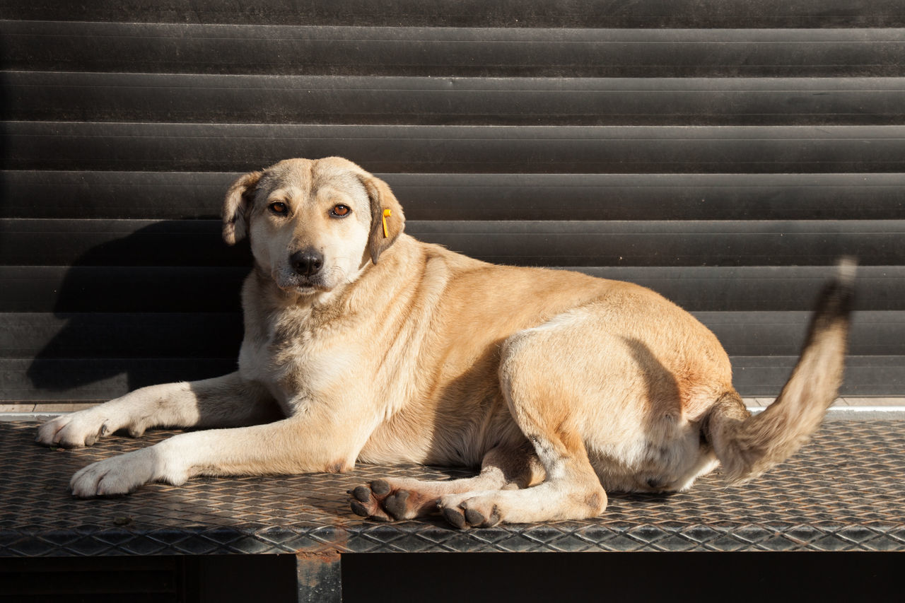 street dog lying in front of a closed shop Animal Themes Canine Close-up Day Dog Domestic Animals Istanbul Looking At Camera Lying Down Mammal No People One Animal Outdoors Portrait Relaxation Street Dog Tail Turkey Wagging Tail
