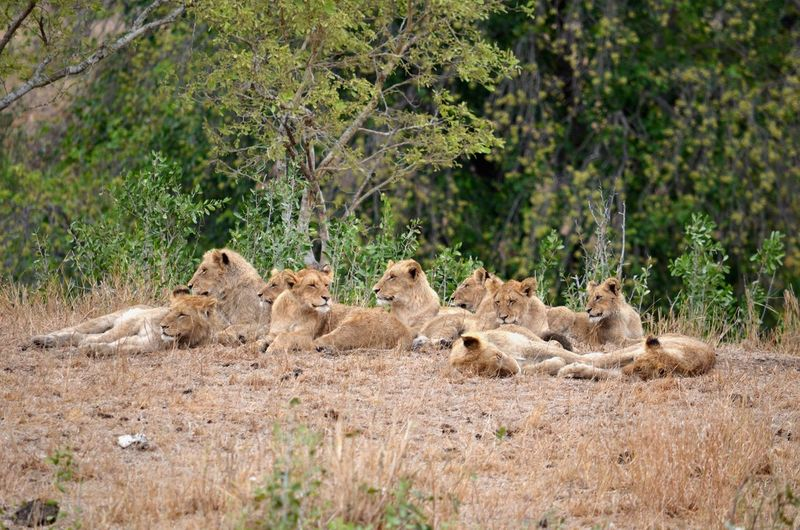 Kruger National Park, South Africa Animal Animal Family Animal Themes Animal Wildlife Animals In The Wild Day Female Animal Lion - Feline Lion Cub Lioness Lying Down Mammal Nature No People Outdoors Relaxation Safari Animals Tree Young Animal EyeEmNewHere EyeEmNewHere