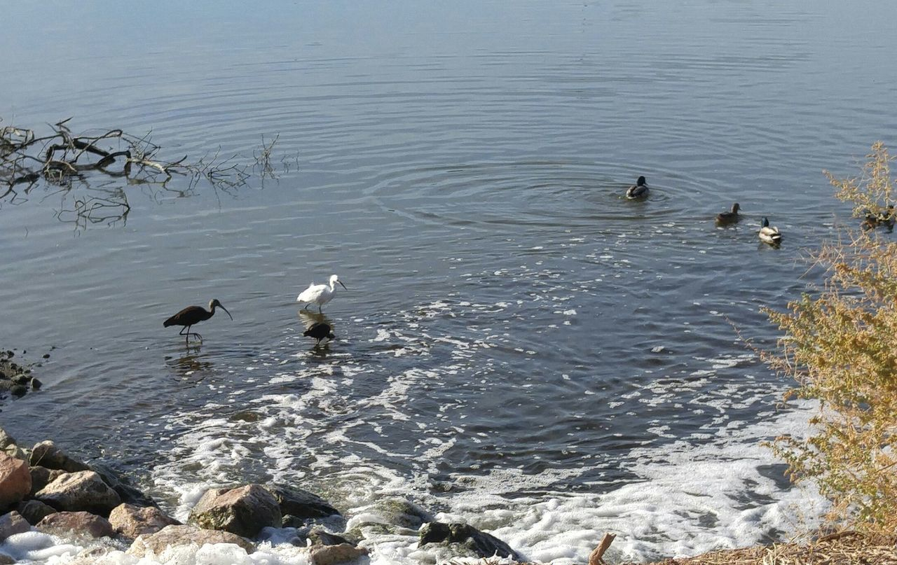 Animal Wildlife Animals In The Wild Bird Duo Egret Ibis Lake Mallard Duck No People Pair Two Things Water Waterfowl