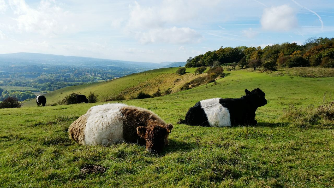 Cows Scenics Landscape Nature Mammal Day Animal Themes Outdoors Agriculture Beauty In Nature Sky Reigate Hill Surrey Walking Autumn Trees Uk Autumn Colours Eye Em Nature Lover EyeEm Best Shots - Nature
