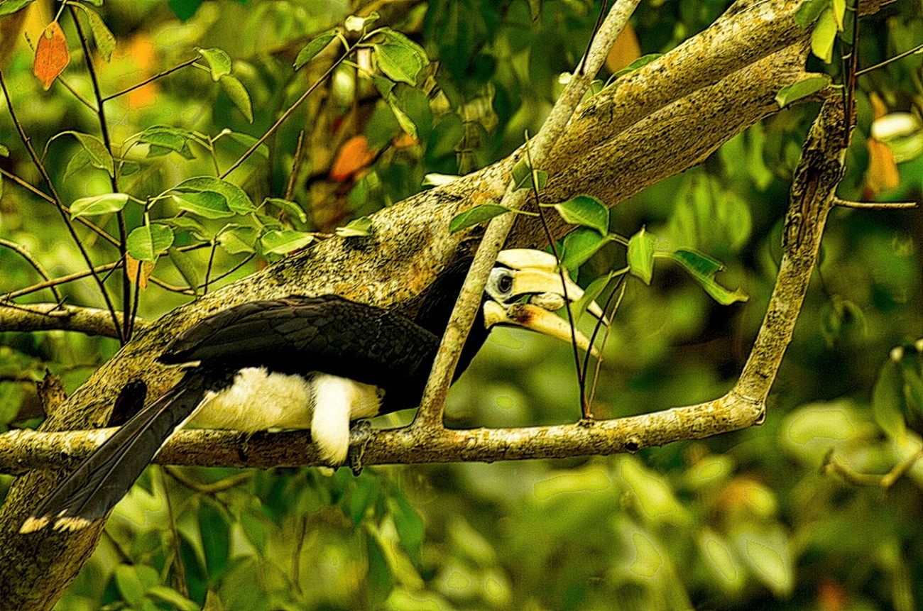 Hornbill Birding EyeEm Birds Nature Photography Birdporn Bird Photography Birds Of EyeEm  Hornbill In A Tree Savethehornbill Sungeibuloh
