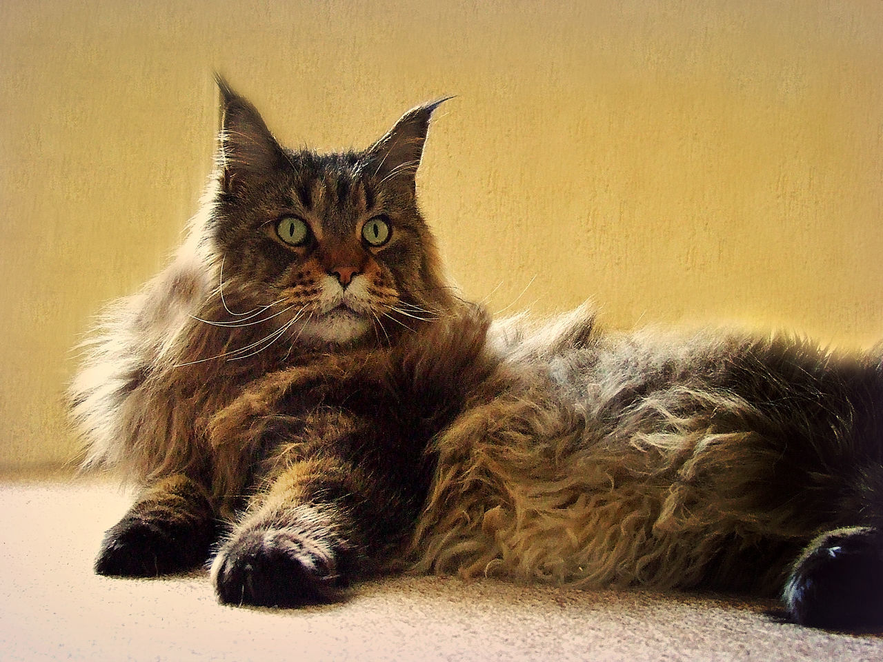 Cat Cat Lovers Cats Cats Of EyeEm Cats 🐱 Catslife Cat♡ Domestic Cat EyeEm I Love My Cat Mainecoon My Cat My Cats Pet Pet Photography  Pets Pets Of Eyeem