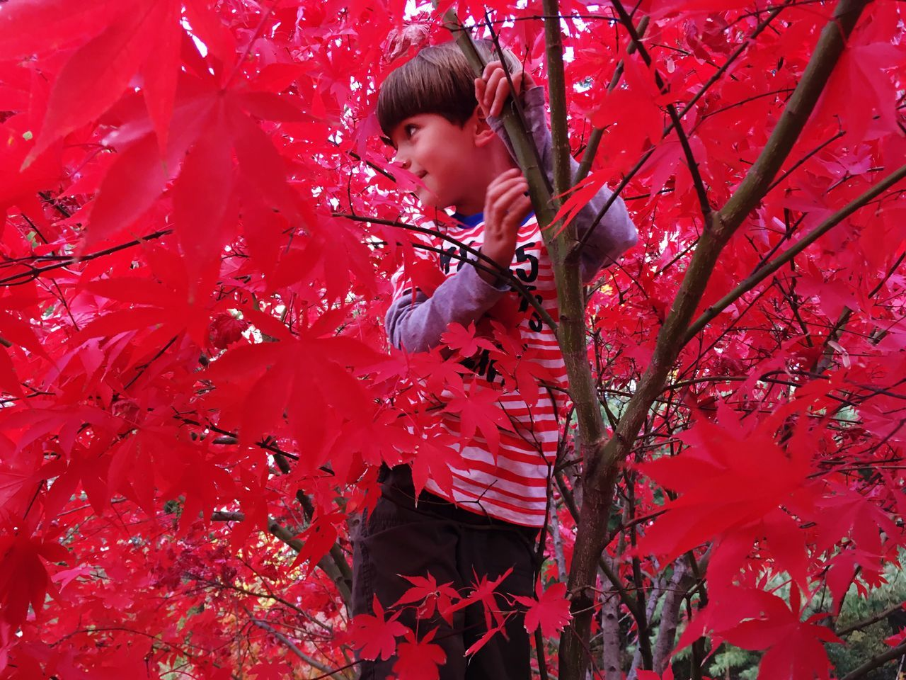 Red One Person Lifestyles Autumn Childhood Leisure Activity Real People Outdoors Growth Nature Tree Day Beauty In Nature Maple Leaf People Climbing Hiding Camouflage Fun Playing