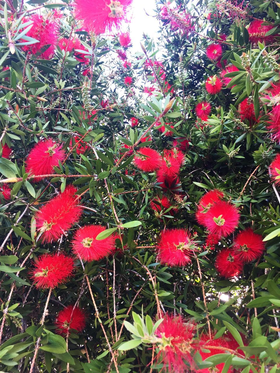 growth, red, flower, nature, plant, beauty in nature, fragility, no people, day, outdoors, freshness, flower head, close-up