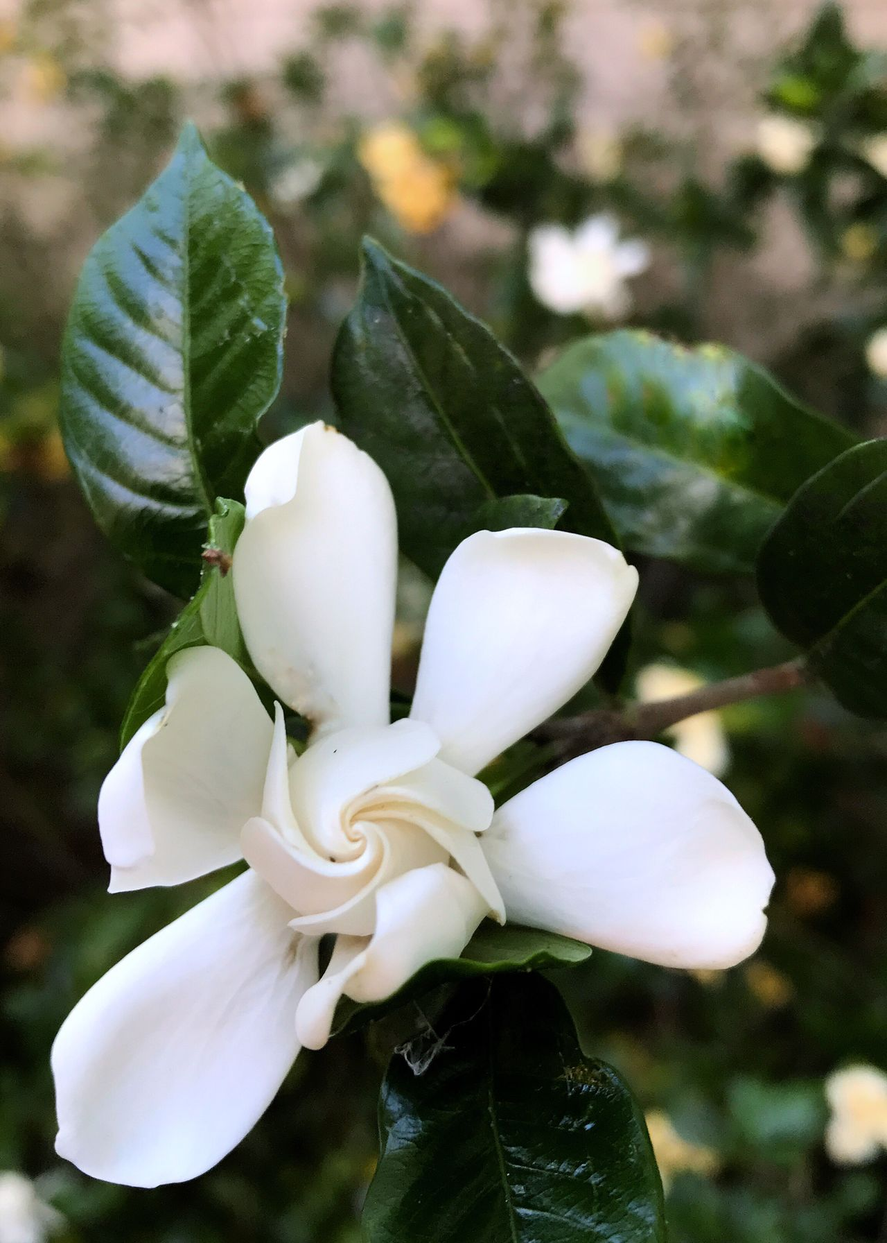 Gardenia blossom. Flower White Color White Flower Petal Swirl Flower Head Focus On Foreground Close-up Day Vertical No People Outdoors Blooming Gardenia