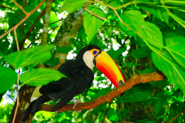 Tucan Animal Animals Beauty In Nature Bird Bird Photography Birds Birds_collection Birdwatching Blue Brasil Brazil Colorful Colors EyeEm Nature Lover Green Nature Pentax Red South America Travel Photography Traveling Tucan Wildlife Wildlife & Nature