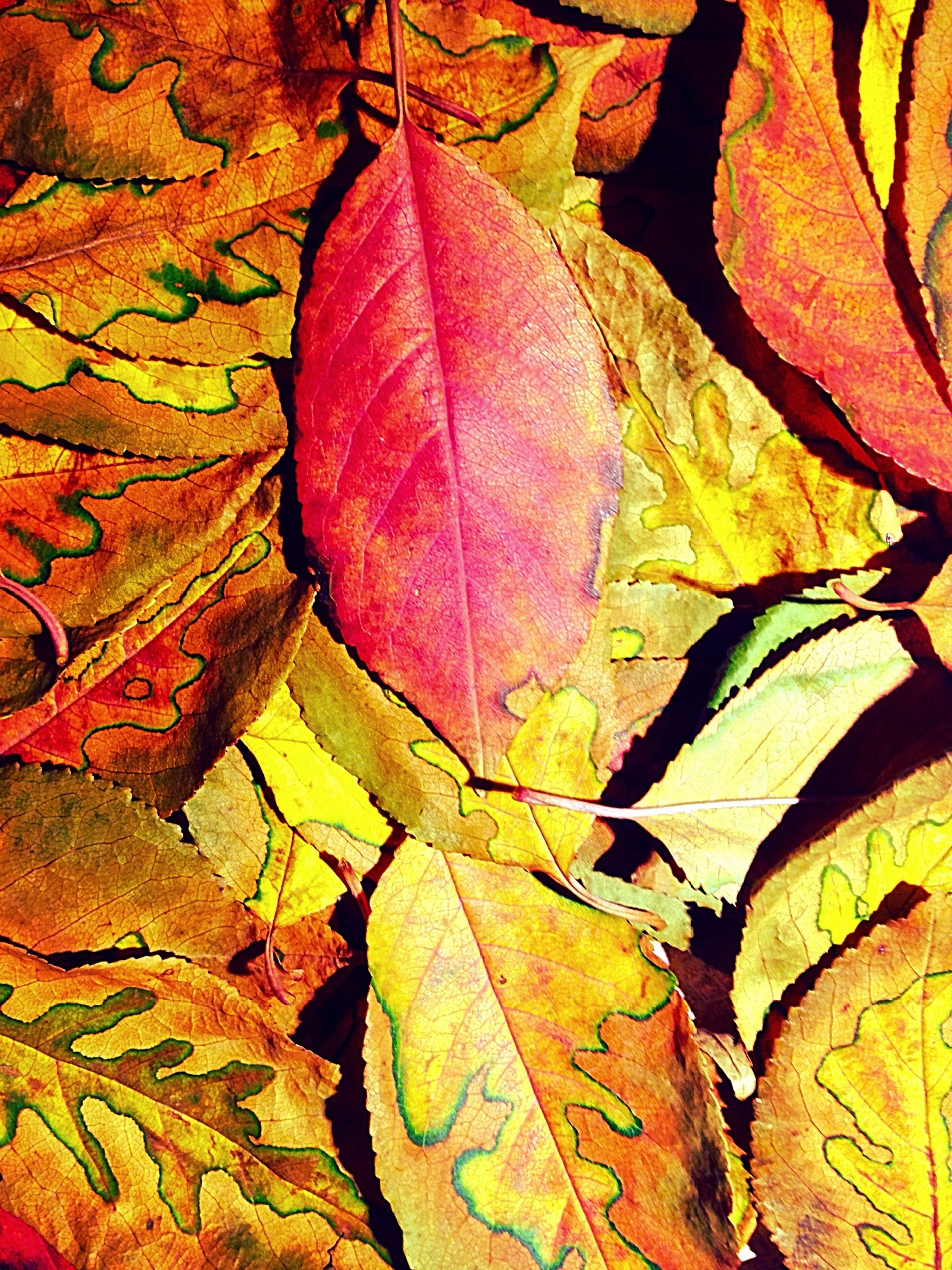 leaf, autumn, change, leaf vein, leaves, full frame, backgrounds, season, close-up, yellow, natural pattern, nature, multi colored, pattern, outdoors, day, orange color, no people, textured, vibrant color
