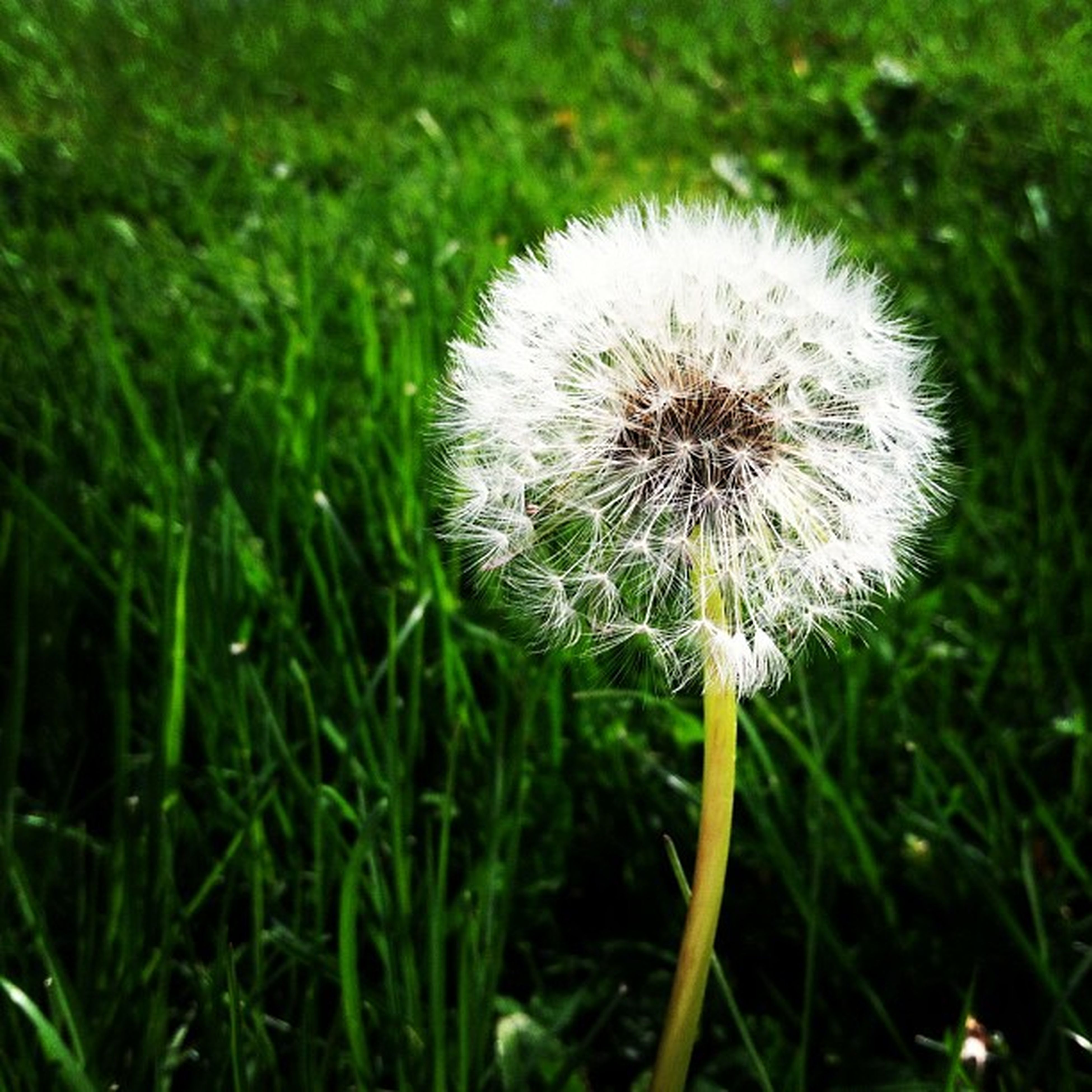 dandelion, flower, fragility, growth, freshness, flower head, beauty in nature, nature, close-up, focus on foreground, field, wildflower, stem, single flower, uncultivated, white color, plant, grass, softness, dandelion seed
