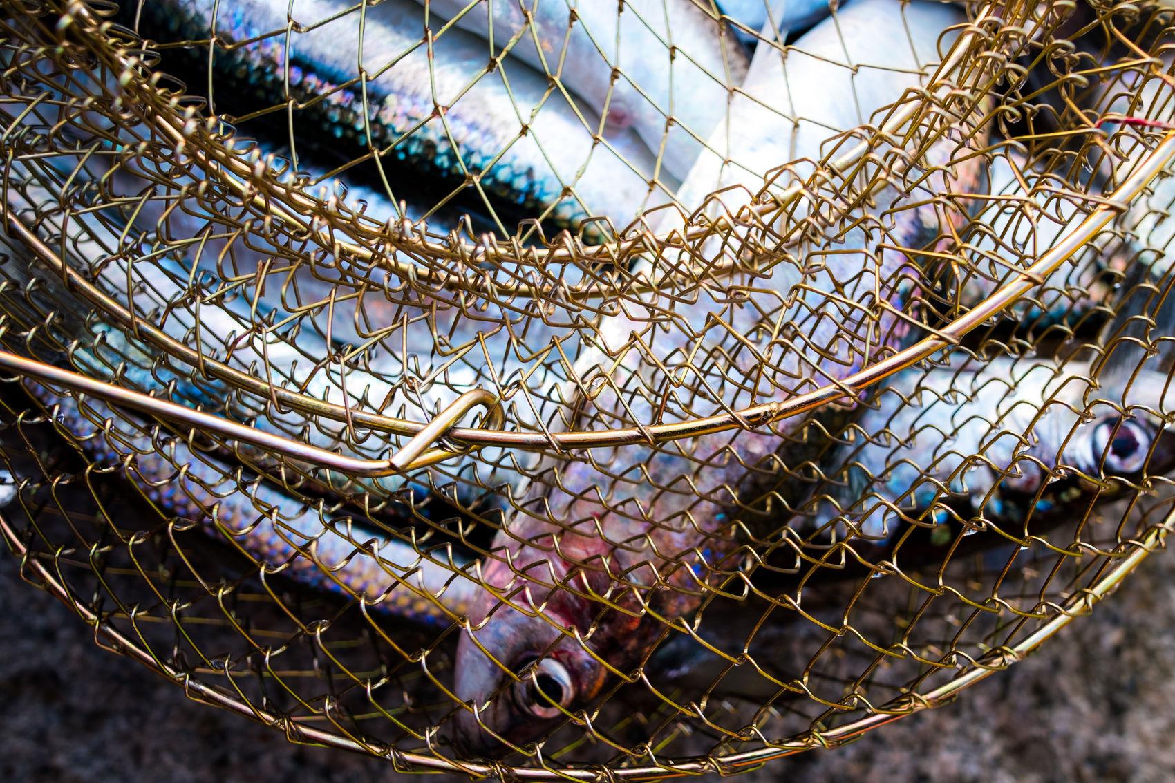 Fresher than fresh Angeln Close-up Eat Fish Eyes Fang Fisch Fish Fishing Fresh Fresh On Eyeem  FUJIFILM X-T2 Gold Hering No People Schillernd Silber Silver