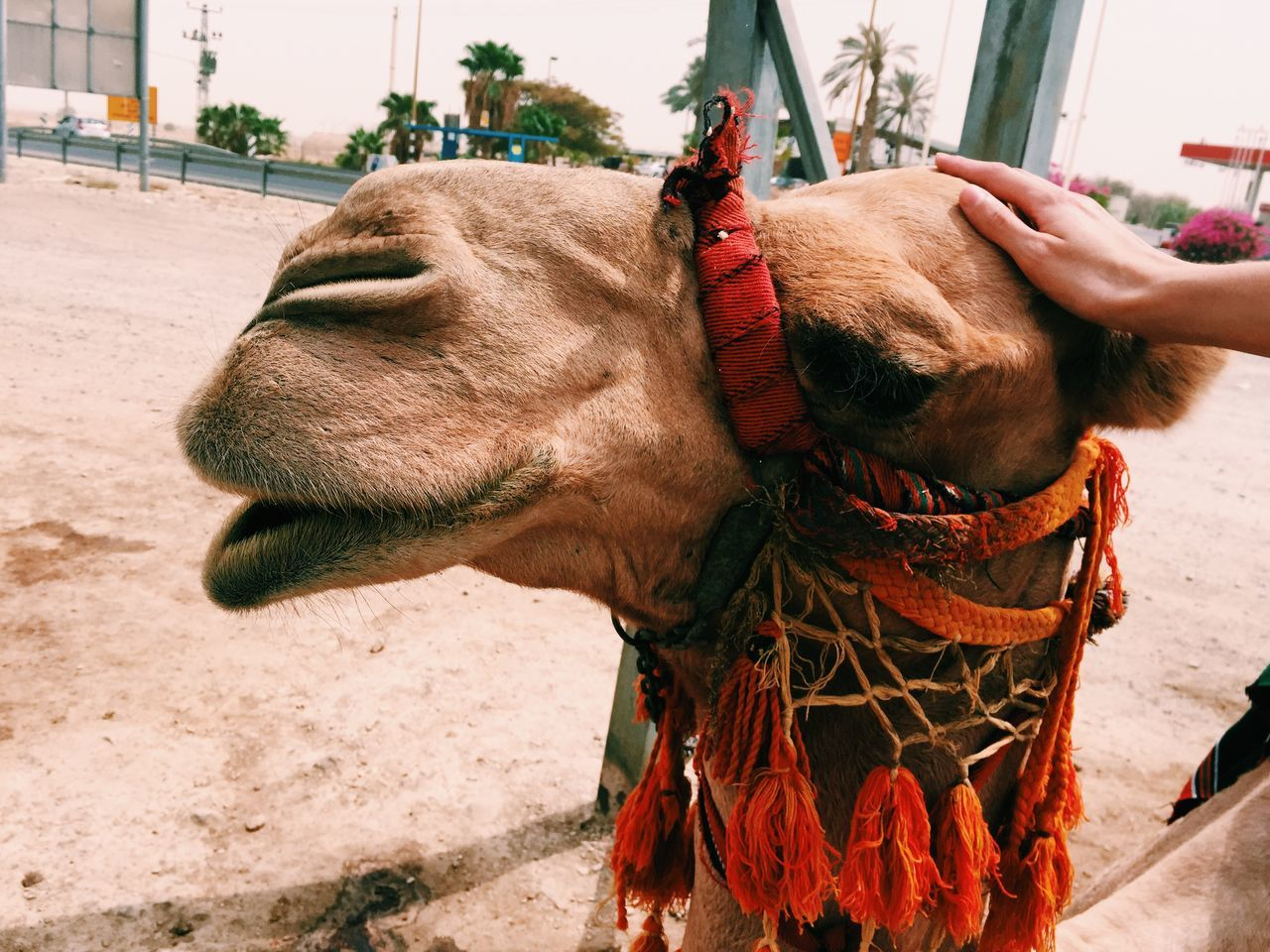 Beautiful stock photos of camel, Animal Body Part, Animal Head, Animal Themes, Beach