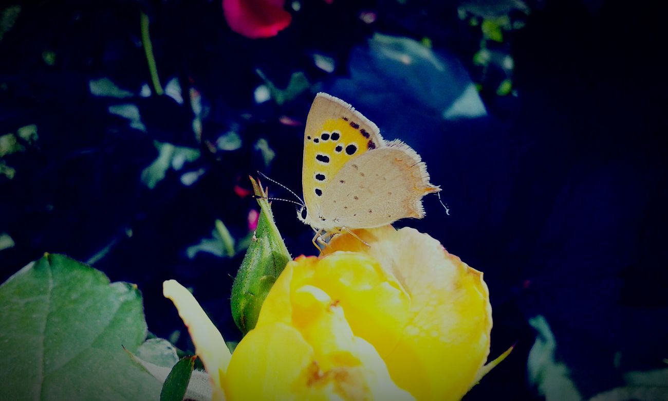 Iran Iranian_photography Yellow Flower Yellow Yellow Rose The Butterfly Close-up Nature Nature Photography Rose🌹 Insect Plant No People Beautiful Persian Normal No People Outdoors Rose - Flower Roze🌹 Rosé Flower Photography Flower