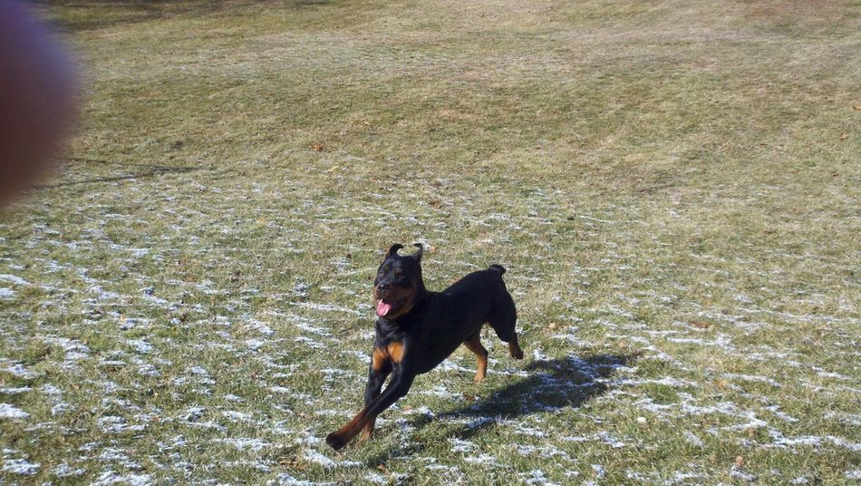 Beautiful stock photos of rottweiler, Animal Themes, Day, Domestic Animals, Field