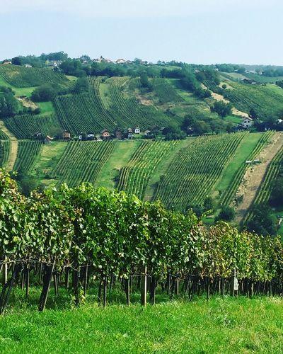 Wine Grape Fields Gorice Rural Scene Field Agriculture Landscape Crop  Vineyard Tranquil Scene Beauty In Nature Nature No People Scenics Winemaking Slovenia