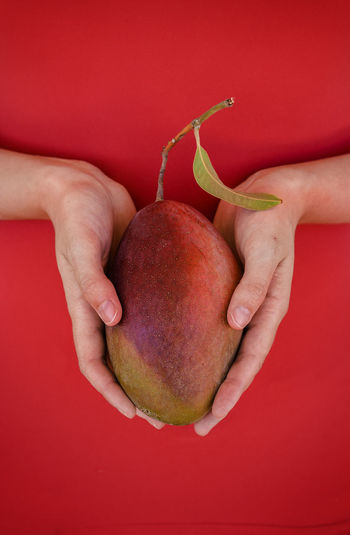 Woman hands holding a ripe mango. Metaphor of care and new life. Care Comfortable Concept Conception Conceptual Photography  Creating Life Detail Feminity Fertility Food And Drink Healthy Eating Holding Human Body Part Human Hand New Life Organic Red Ripe Woman Powerful Red Passion
