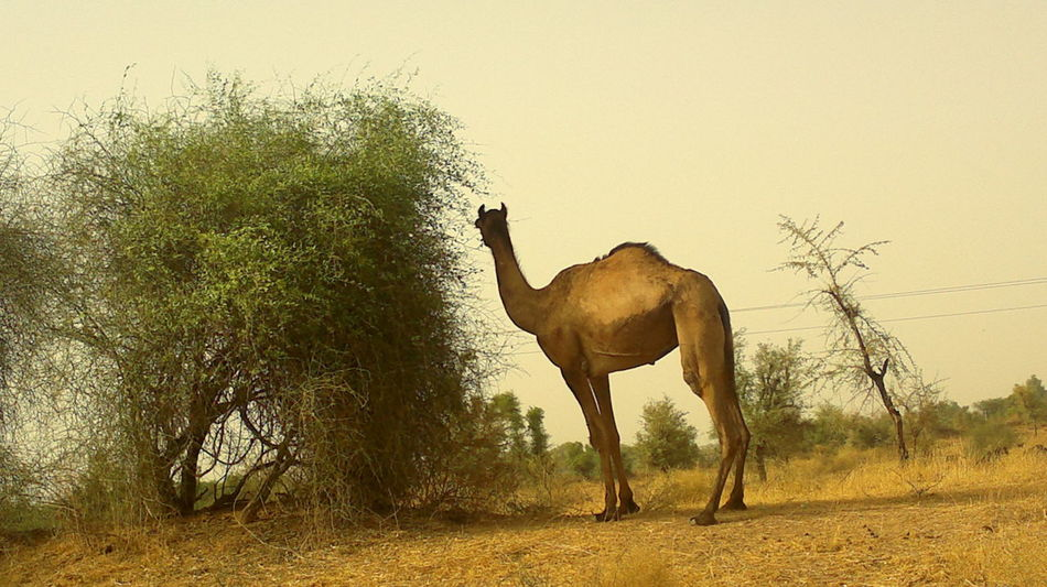 Camel @ Rajasthan Animal Animal Themes Camel Domestic Animals Eyeem India Field India Eyeem Jalore JRPphotography Nature One Animal Rajasthan Tree
