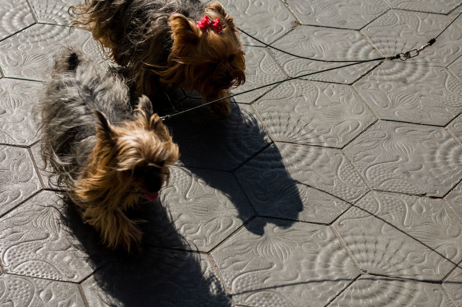 Muni Chewacca High Angle View Shadow Indoors  Close-up No People Animal Themes Day Chewbacca Street Photography Portrait Of A City Dogs Of Barcelona Perros De Barcelona Barcelona Animals Animal Pet Shitzu Two Guy Girl Male Female Dogs Dog Walking