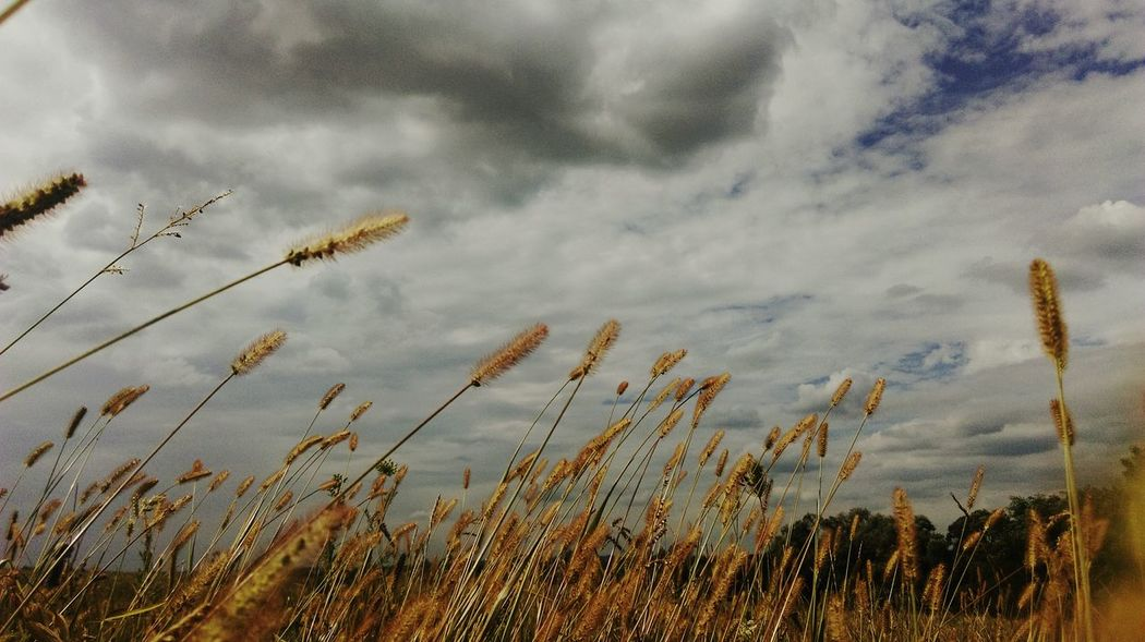 Field Cropfields Sky And Clouds Summer Views Outdoors Great Outdoors Countryside EyeEm Nature Lover Beautiful Nature Eyeem Plants