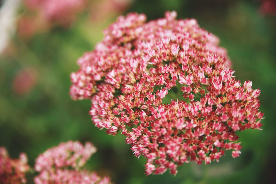 Autumn Beauty In Nature Close-up Day Flower Flower Head Focus On Foreground Fragility Freshness Growth Nature No People Outdoors Petal Pink Color Plant