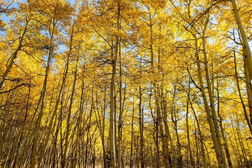 Kenosha Pass Colorado Fall Foliage Fall Gold Aspen Autumn Autumn Colors Solid Gold Fall Beauty