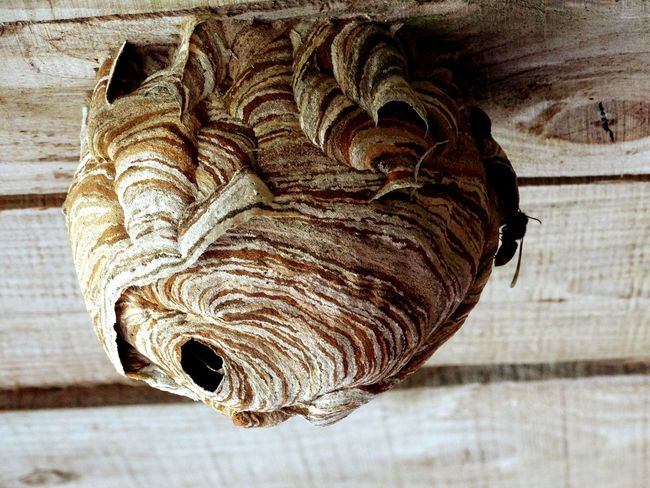 Living sculpture. Nature Nature Texture Paper Papercraft Bees Wasps Wasps Nest Outdoor Pictures Wild Life Wildlife Wildlife Photography Relaxing Taking Photos Hi! From My Point Of View Hello World Enjoying Life Check This Out Stig Sting Barbe Pest Buzz Textures