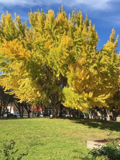 IPhoneography Colors Of Fall Beauty In Nature Trees Outdoors Yellow Leaves Autumn Colors Changing Seasons IheartSantaClara Santaclara California United States