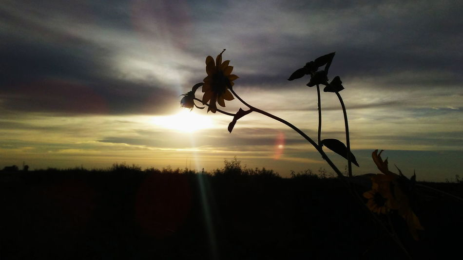 Sunset Sunflowers🌻 Sunflower Clouds And Sky Grapevine Beauty Grayclouds Villanueva'sphoto Love ♥ First Eyeem Photo Beatiful Nature ❤ Photographer EyeEm Nature Lover Photography Enjoying Life Beatifulday Sun Taking Photos Hanging Out VSCO