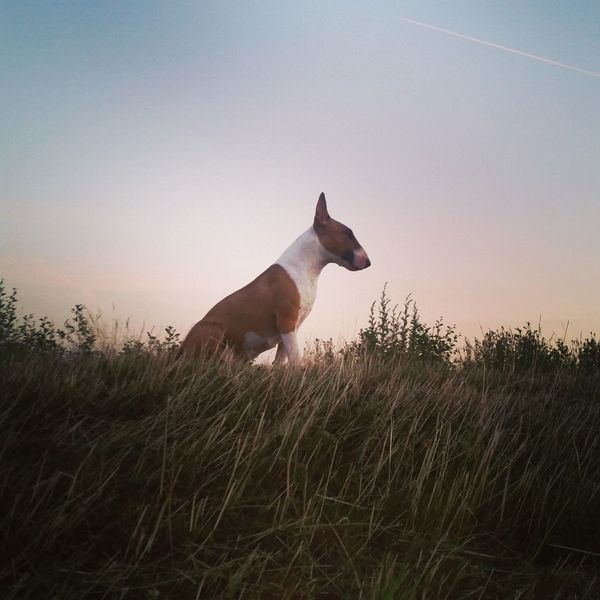 Animal Animal Wildlife Animals In The Wild One Animal Mammal Nature Grass Sky Outdoors No People Rural Scene Sunset Day Animal Themes Tree The Great Outdoors - 2017 EyeEm Awards The Portraitist - 2017 EyeEm Awards Bullterrierphotography Bullterrier Dogs Of EyeEm Portrait Dog Domestic Animals Bull Terrier Low Angle View Pet Portraits